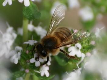 http://s775196599.onlinehome.fr/img/cms/L-abeille.jpg
